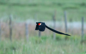 Long-tailed Widowbird breeding male