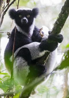 Indri, a black-and-white teddy bear