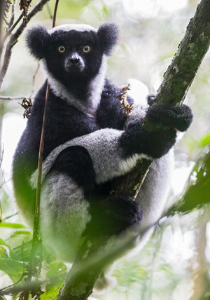 Indri, a black-and-white teddy bear