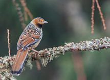 SPOTTED LAUGHINGTHRUSH