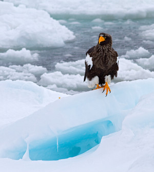 Steller's Sea-Eagle on ice