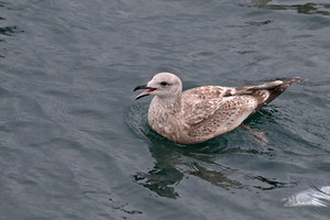 Some kinda juvenile gull. Representing Charley's least favorite group of birds!