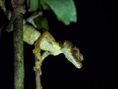Recently described Uroplatus fotsivava leaf-tailed gecko at Bemanevika