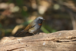 Rufous-gorgeted Flycatcher at Doi Lang