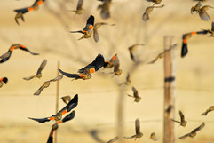 Long-tailed Widowbirds in winter plumage