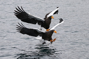 Steller's Sea-Eagles being fed
