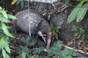 Hog Badger. Hodger for short
