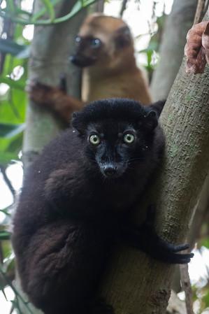 Blue-eyed Black Lemur pair