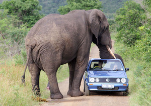 With African Elephants, you're not necessarily safe in a car!