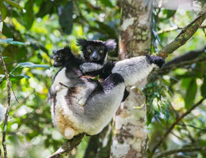 Indri with baby