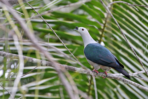 Spice Imperial Pigeon on Merpati Island