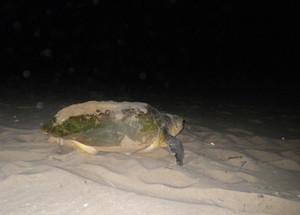 A massive Leatherback Sea Turtle