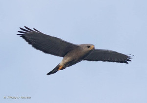 Gray Hawk, a special bird of the Lower Rio Grande (not actually a) Valley!