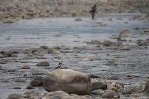 Crested Kingfisher on a rocky river near Corbett