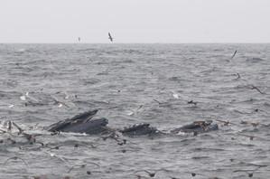Humback Whale feeding frenzy