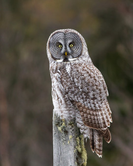 Great Gray Owl - Fyn Kynd / CC BY (https://creativecommons.org/licenses/by/2.0)