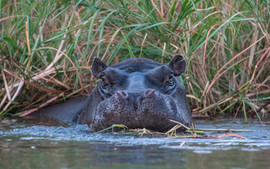 Hippo, one of Africa's most dangerous animals. And they make some remarkable grunts!