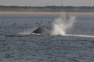 Humpback Whale, within easy sight of land on Cape Cod
