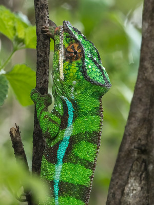 Panther Chameleon is highly variable, and the population in Ankarana is one of the most colorful
