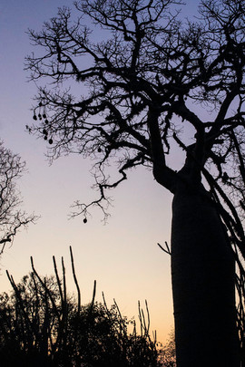 Spiny Forest - Octopus Tree and Baobab