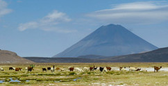Alpacas and the magnificent cone of El Misty. A perfect recipe for the WORST new years ever
