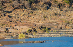 African Elephants heading for the Oliphants River in Kruger National Park, South Africa