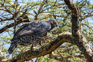 Crowned Hawk-Eagle chows down on bats at Kasanka