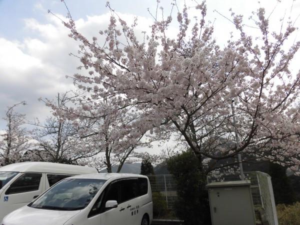 2019/04/07(日)桜満開