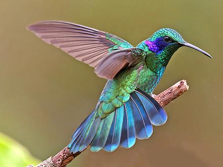 Devenir des colibris, é canja!* / Somos beija-flores / Being hummingbirds