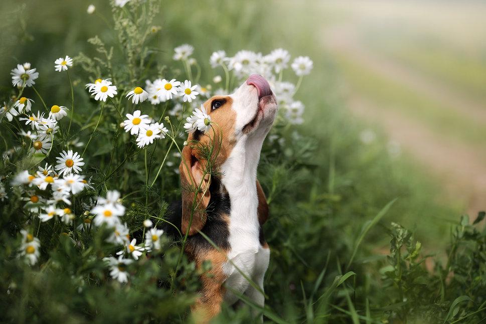 Cute beagle puppy in daisies.jpg