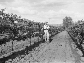 Boysenberry and Grape Crops 1948