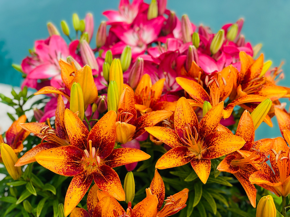 Lilies by the pool