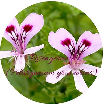 Rosengeranie (Pelargonium graveolens) ru