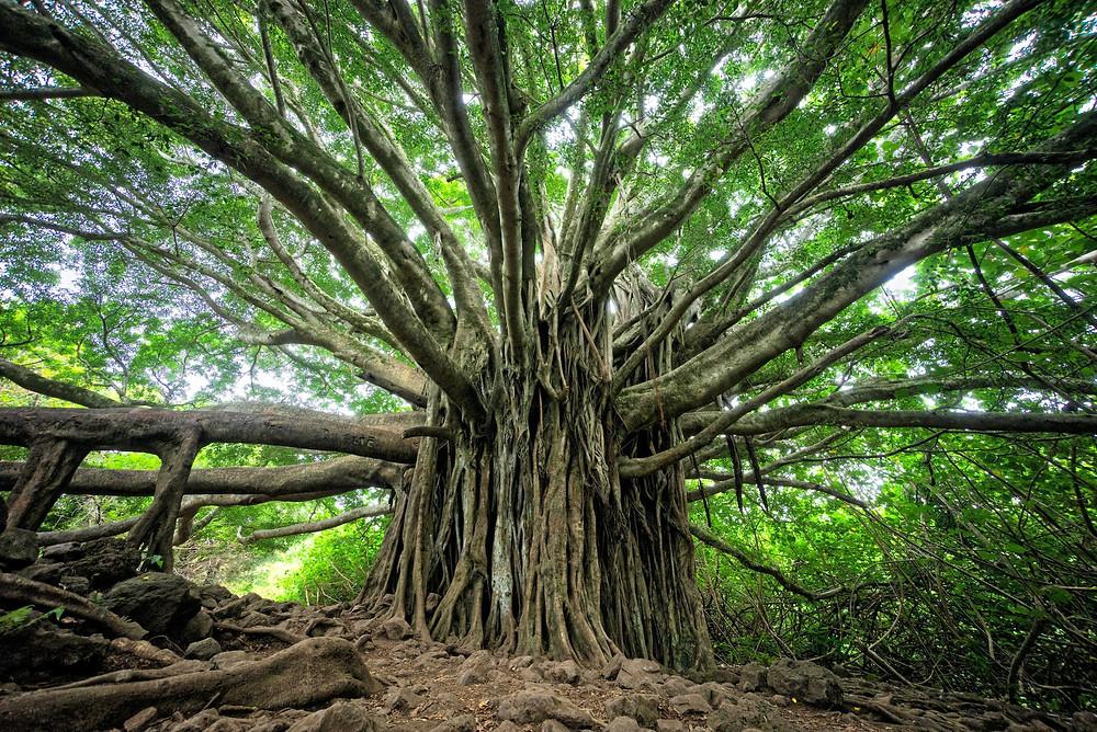 Ein großer Baum mit vielen Wurzeln