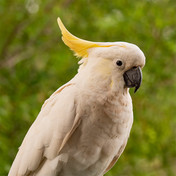 cockatoo on tours in sydney.jpg