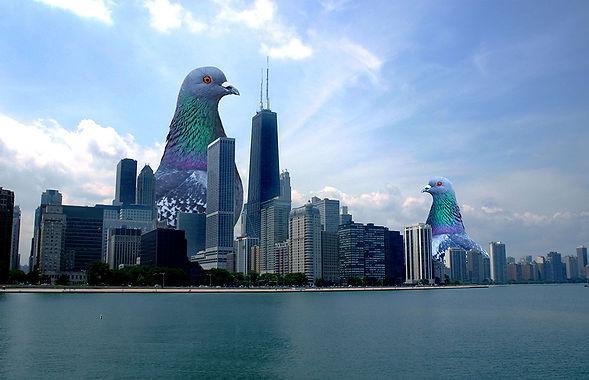 Les twins pigeons à Chicago