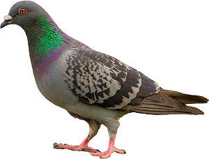 pigeon concours photomontage