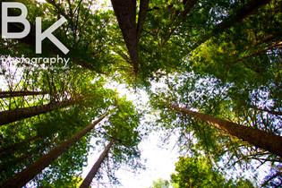 Grove of Titans - Redwoods