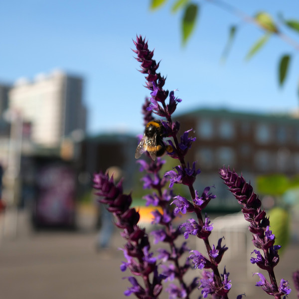Runner Up - Nature carries on regardless: A bumblebee enjoying flowers outside the Fairfield Halls during the first lockdown, May 2020