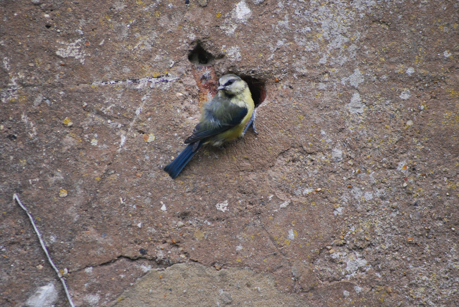 1st place - Scheming Lookout - Bluetit in Norwood Grove looks like he is protecting a bird secret agent office on the other side of the wall