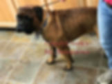 Red Bullmastiff