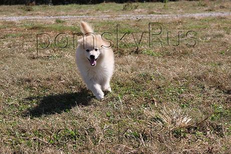 Pomsky Puppy for sale  Pomsky Puppies Pomsky