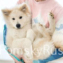 pomsky puppy pomskies