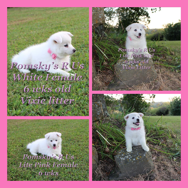Pomsky puppy breeder