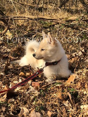 pomsky puppy for sell  Pomsky puppies  breeder
