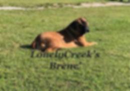 bullmastiff pup for sell