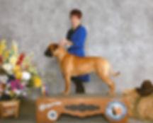 bullmastiff puppy for sell