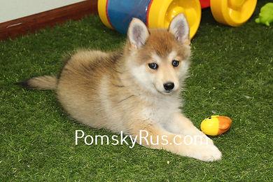 pomsky puppy for selll Pomsky