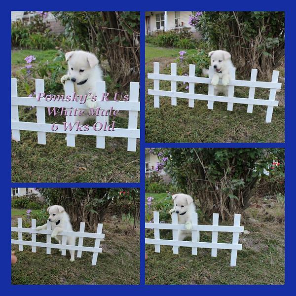 Pomsky puppy for sle