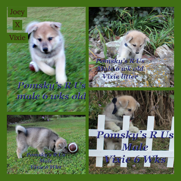 pomsky puppy for sell